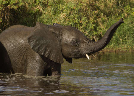Elephant Calf playing in water