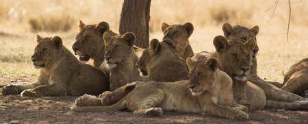 Lion Pride Фото со стока