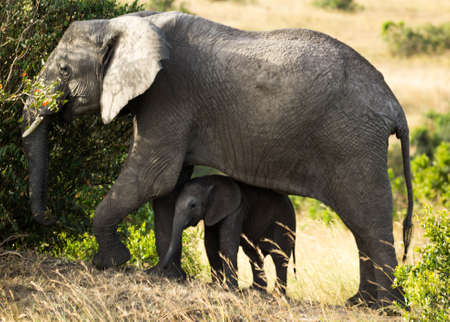 Elephant and calf eating