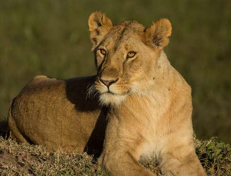 Lion sitting in Masai Mara Reklamní fotografie