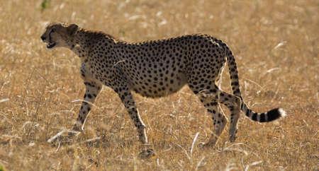 Lone Cheetah Walking in Masai Mara