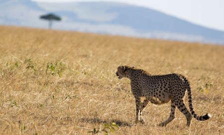 Cheetah Walking in Masai Mara
