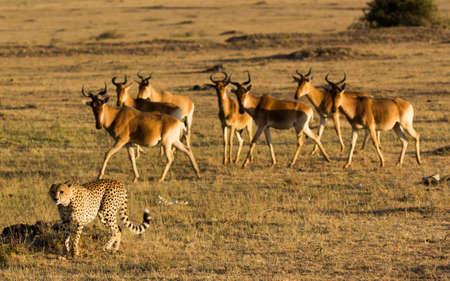 gazelle: Cheetah and Gazelle Hunt Stock Photo