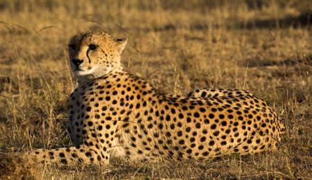 the mara: Cheetah In Masai Mara