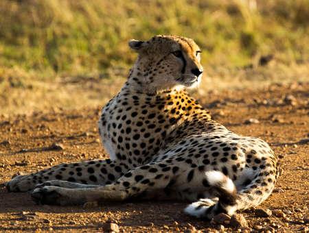 Cheetah Masai Mara