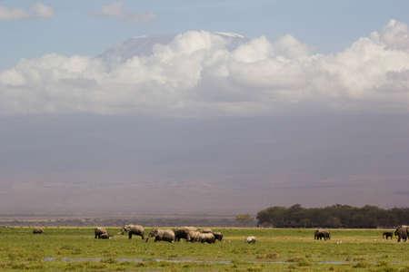 kilimanjaro: Elephants near Kilimanjaro