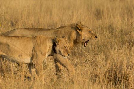 Lions Roaring Reklamní fotografie