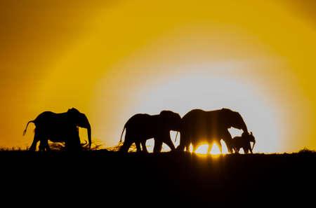 Silhouette of an Elephant herd