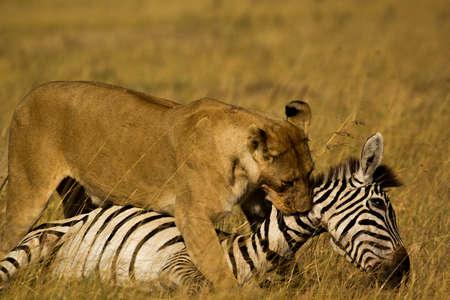 Leone zebra Hunt Archivio Fotografico - 45799865