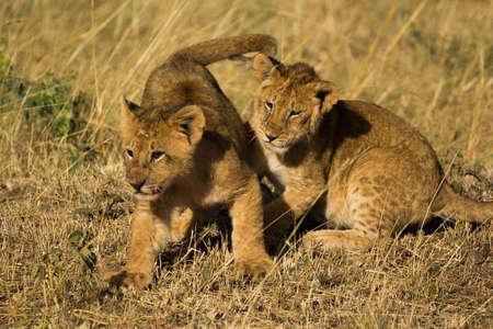 cubs: Lion cubs playing