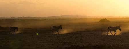 Zebras during Sunset Reklamní fotografie