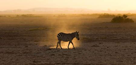 Zebra during Sunset
