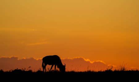 wildebeest: Wildebeest grazing Silhouette