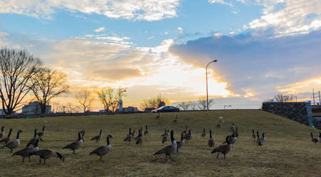 Ducks walking at sunset
