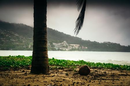 Ripe coconut lying under palm tree on background of Kamala beach. Stock Photo