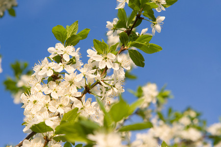 setting sun: The blossoming cherry spring photo at the setting sun Stock Photo