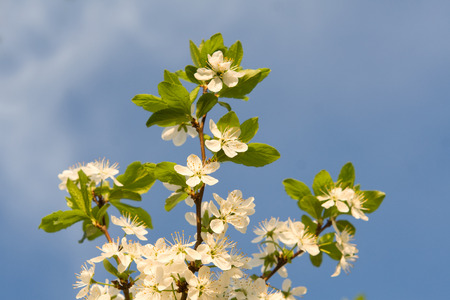 the setting sun: The blossoming cherry spring photo at the setting sun Stock Photo