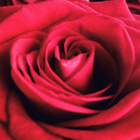 up: A close up of red rose