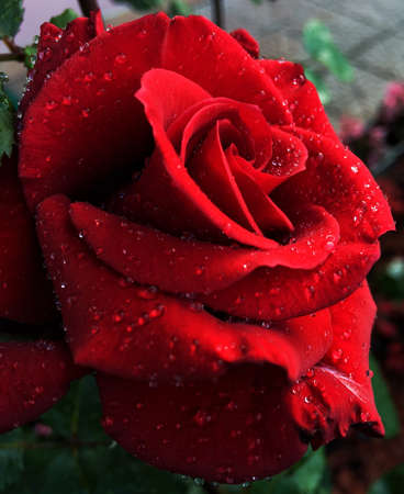Red rose close up view
