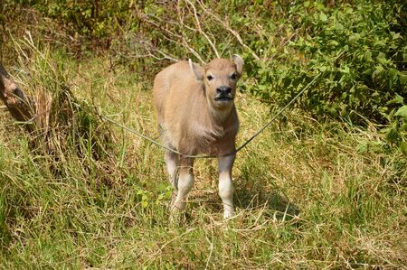 buffalo grass: Buffalo on the grass field