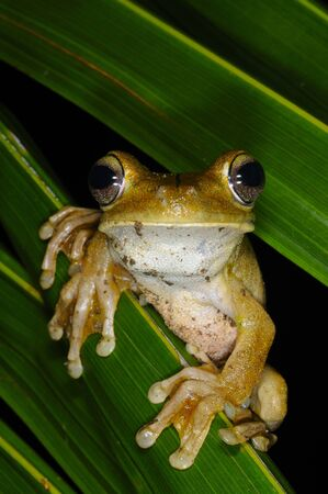 Tree frog at night in Corcovado National Park Costa Rica