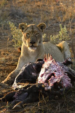 lioness eating a buffalo at dawn in Kruger National Park, South Africa Stock Photo
