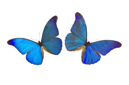 frailty: Closeup view of two blue butterflies isolated on a white background