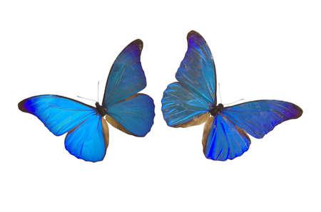 metamorfosis: Opini�n del primer dos mariposas azules aisladas en un fondo blanco