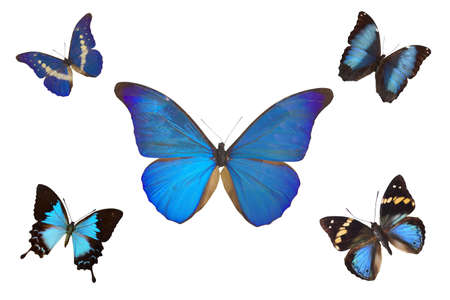 frailty: Closeup view of five blue butterflies isolated on a white background Stock Photo