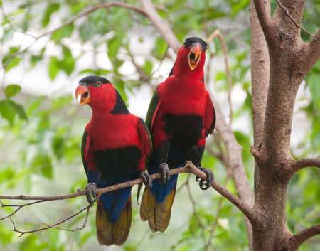 Lorius lory, is a parrot native to New Guinea