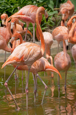 flamingos playing in the water Imagens