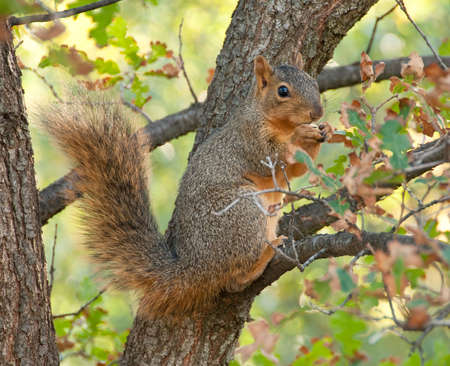 Sciurus niger, a tree squirrel of north america, in the autumn light