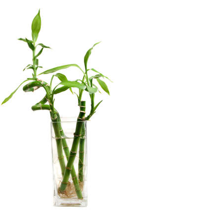 bamboo leaves and roots in a clear glass vase with copyspace on the right Stock fotó