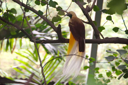 bird of paradise: Paradisaea minor in singapore