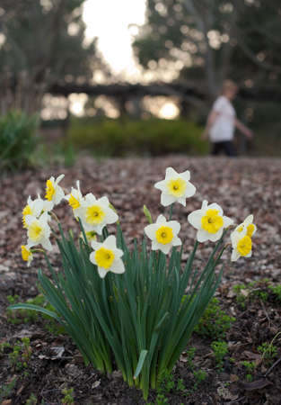 passerby: a walker passes newly bloomed daffodils in park