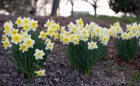 beautiful daffodils bloom in winterspring Stock Photo
