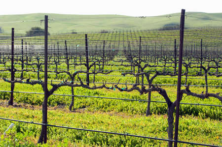 spring growth in the central coast vineyards