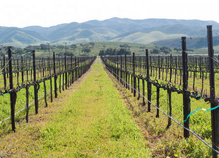 a vineyard in the central coast in spring