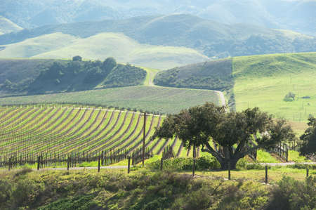 vineyard in the green hills in spring