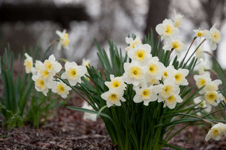 white daffodils with yellow centers photo