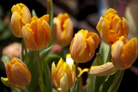 yellow orange tulips on display Archivio Fotografico