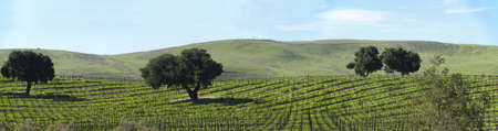 a vineyard on the santa barbara coast photo