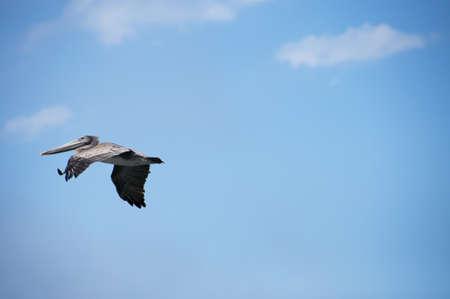 a single pelican in flight with copy space Archivio Fotografico