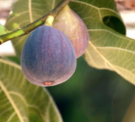 feigenbaum: �berh�ngenden Feigen auf dem Baum