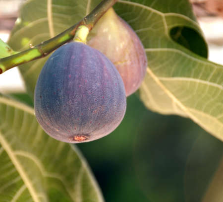 purple fig: overhanging figs on the tree Stock Photo