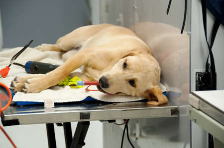 spaying: at the vets for a spaying procedure