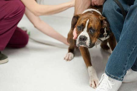Un chien laisse malheureusement l'infirmière prendre sa température Banque d'images - 9651375