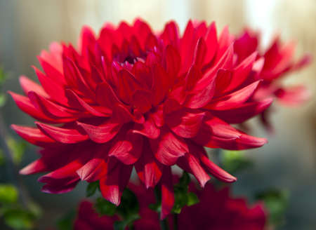 eight inch red dahlias in full bloom