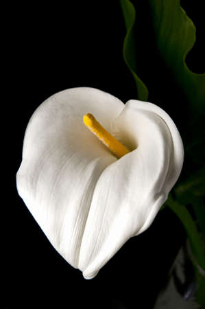 orange lily: single white calla lilly flower in black