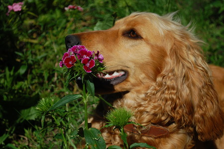 coker spaniel dog near flowers
